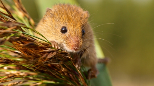 Harvesting Mouse in a reed plume